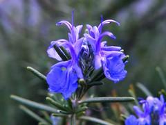 Rosemary Bloom 2