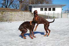 Campary and Destiny (Liisaz88) Tags: city dog brown snow cute dogs beautiful puppy fun nikon tallinn estonia play chocolate dream destiny land dobermann flox dobermanns campary legrant halettah