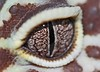 Eye of the Gecko