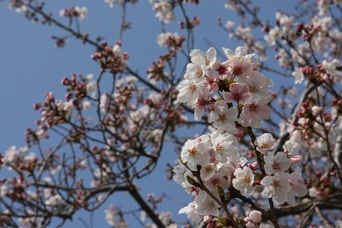 진해 Blossoms