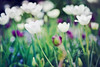 Garden Breeze (mjmatt) Tags: spring tulips dallasarboretum 85mm18 betharmsheimertexture