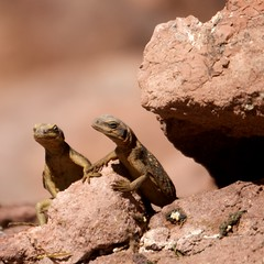 Lizard Love (Vicr of Flickr) Tags: arizona brown love feet animals togetherness holding hands rocks dragon affection reptile wildlife az lizard together hooverdam lakemead cave holdinghands serpent