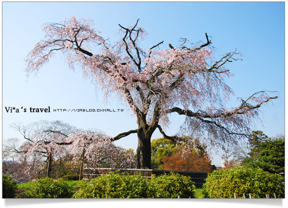 【日本京都旅遊】京都賞櫻名所~櫻花滿開的圓山公園