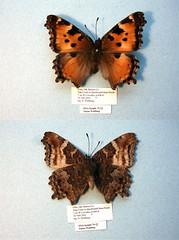 Nymphalis californica
