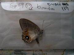 Splendeuptychia itonis