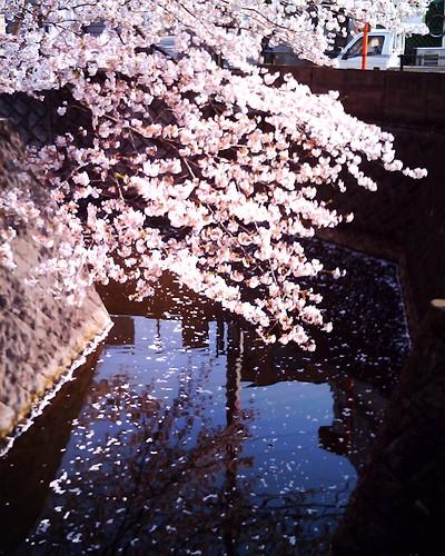 sakura @ nogawa river