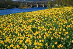 River of Dee (Northern_Night_Sky) Tags: canon scotland aberdeen daffodils superaplus aplusphoto colourartaward platinumheartaward riverofdeespring 1855mm3556kitlens