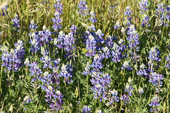 Lupine (Pomar (historical), California, United States) Photo