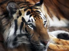 Tired Tiger (FLPhotonut) Tags: tiger rest breathtaking buschgardenstampa endangeredspecies bengaltiger blueribbonwinner canon50d colorphotoaward allkindsofbeauty breathtakinggoldaward flphotonut canonef75300mmiif456