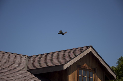 Hello Mr. Turkey Vulture. What bad smell is lingering over our barn?
