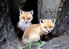 Sweetness! (Lisa Ann Photography) Tags: cute nature pups sweet fox ©lisa5776 photographybaby