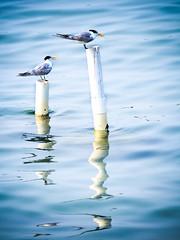 Torn (Khaled A.K) Tags: blue sea reflection bird birds sa saudiarabia khaled ksa saudia jiddah jedaah kashkari