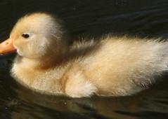 Blondie (Pebbles402) Tags: water swimming duck pond wildlife ducky quack babyduck ducklett