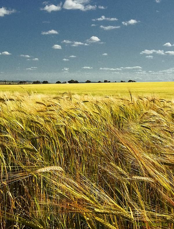Campo de trigo II