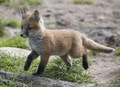 England, Surrey (richard.mcmanus.) Tags: england cub fox mcmanus doubledragon natureall photowild ourplanet naturalexcellence vosplusbellesphotos naturegreenstar naturescreations worldanimals worldnatureclose gpsetest