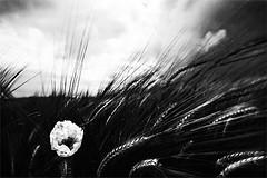 (Effe.Effe) Tags: blackandwhite bw clouds blackwhite nuvole wind wheat grain bn poppy bianconero marche senigallia biancoenero vento coquelicot grano bl amapola papavero