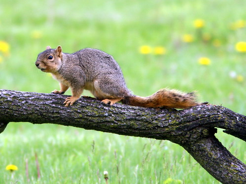 Fox Squirrel 20090510