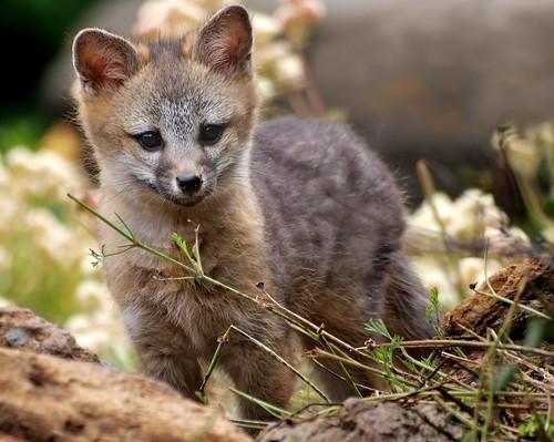 フリー画像| 動物写真| 哺乳類| イヌ科| 狐 /キツネ| グレーフォックス|      フリー素材|