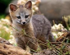 [フリー画像] [動物写真] [哺乳類] [イヌ科] [狐 /キツネ] [グレーフォックス]      [フリー素材]