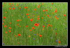 Meadows of Heaven (Mariusz Petelicki) Tags: maki meadow ka fieldpoppies mariuszpetelicki