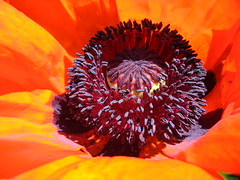 """Think of all the beauty that's still left in and around you and be happy."" Anne Frank, Holcaust Victim (nightshooter09) Tags: red orange garden gardeners purple friendship photoblog poppy annefrank simplify onedayatatime kindnessofstrangers blindphotographers"