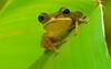 logo (haistx) Tags: r treefrog southchinasea 105mmf28dmicro insingapore 2xtelepluspro300 goldentorch shootingwithd200 nikonr1ttlringlightflash heliconiapsittacorumxspathocircinatacv foundatmountfaber onheliconialeaf miñim
