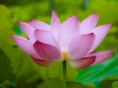 Lotus (ddsnet) Tags: plants gallery lotus sony hsinchu taiwan cybershot aquatic  aquaticplants        sinpu hsinpu   colorphotoaward plants  aquatic  hx1  photoshavebeeningallery