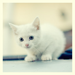 white (©Andrey) Tags: pets white animals cat kitten small