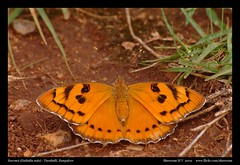 Baronet (Euthalia nais)