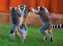 Ring tailed lemur (floridapfe) Tags: animal wow zoo monkey three dance nikon funny candid awesome korea ritual everland ringtailedlemur  aplusphoto stuffss 2voc