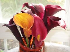 IMG_0716 (mlk19569) Tags: flower gardening callalily