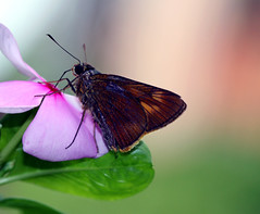 wings , tales (xeno(x)) Tags: pink flower macro green art nature canon butterfly garden insect 2009 xeno bej 40d mywinners