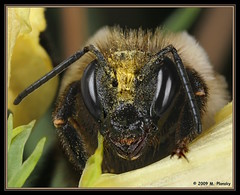 Bumble Bee (mplonsky) Tags: macro nature face animal closeup insect eyes sting bee bumble plonsky boxofhappymemories urvision