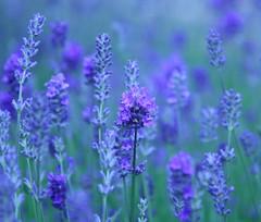 lavender (itsabreeze) Tags: blue flower garden purple lavender herb hidcote winnerbc bestofmywinners