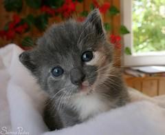 kesakuu4-2007 080 (Fantasyfan.) Tags: blue pet cute look animal topv111 tag3 taggedout cat eyes furry topv555 topv333 kitten tag2 tag1 head topv1111 topv999 fluffy topv777 tilt topv3333 fantasyfanin pipsa highqualityanimals siirretty