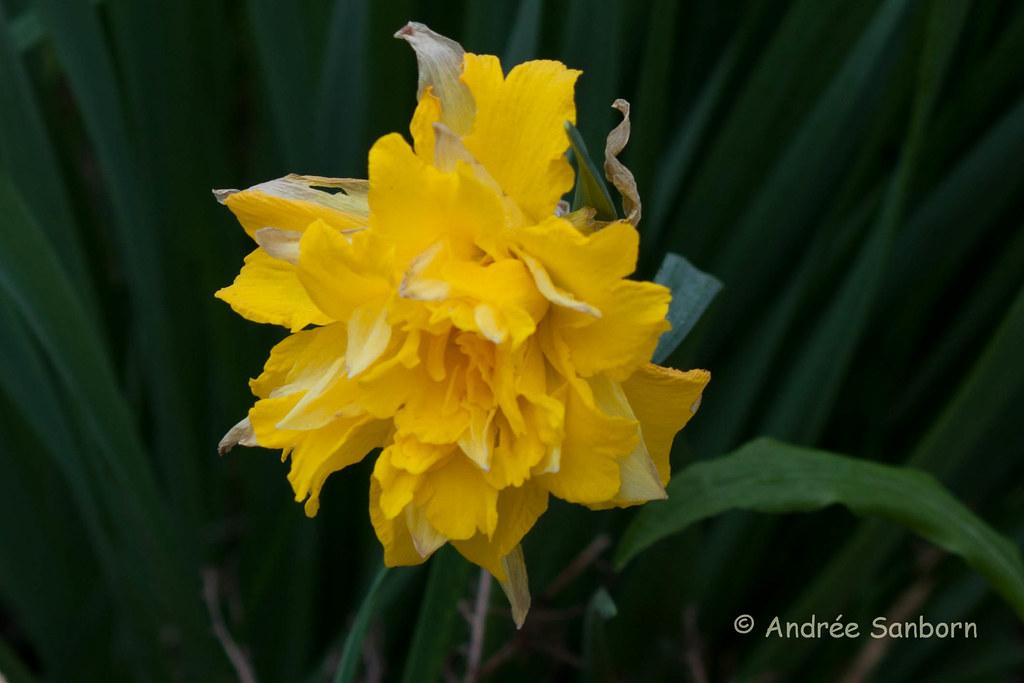 Daffodil-2.jpg