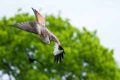 Red Kite Mid Dive (Gareth Scanlon) Tags: uk blue red sky orange brown kite blur milan green bird yellow wales ed rouge grey nikon carmarthenshire bokeh flight dive wing 300mm tc if pro prey crow 300 brak nikkor stoop gareth scanlon f4 royale dgs afs outstretched milvus kenko 14x teleconvertor rotmilan brynamman d300s garethscanlon