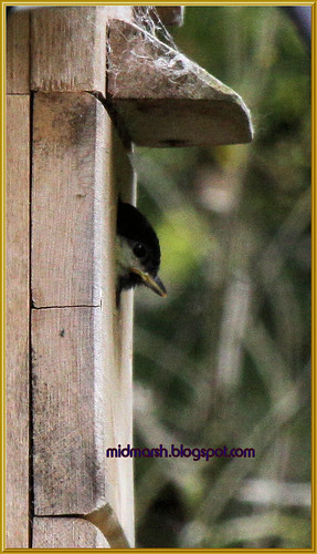 Baby Great Tit 1