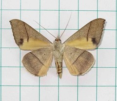 () Oxyodes scrobiculata (Fabricius, 1775) (ventral) (Moths of Wangxiang) Tags: moth taiwan  moths noctuidae catocalinae   nantou    oxyodes scrobiculata  wangxiang