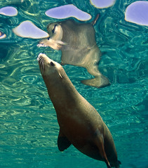 slreflx3635c (gerb) Tags: reflection topv111 510fav mexico topv555 topv333 underwater scuba sealion seaofcortez tvp aquatica d7000 sigma1017fe