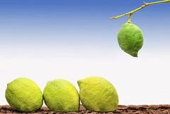 Aun estas muy verde (Nando Verd) Tags: verde arbol 9 alicante amarillo semana rama joven elda limon tierra petrer maduro limonero baticao