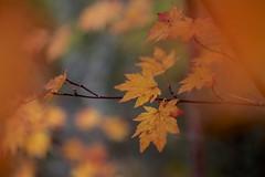Momiji #3 (joka2000) Tags: autumn macro yellow japan leaf maple dof bokeh momiji japanesemaple bandai kaede