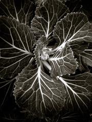 swirl (BlogKing) Tags: november bw plant toned challenge