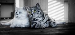 Two BKH Cats (Blochmntig) Tags: cats feline yeti gatto britishshorthair impressedbeauty mygearandme mygearandmepremium mygearandmebronze mygearandmesilver mygearandmegold mygearandmeplatinum mygearandmediamond photographyforrecreationclassic