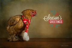 Mabel (Betty Gillis) Tags: christmas chicken mabel cochin nikond7100