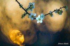 魅影美梅 - Sunset of Plum Blossoms - Taichung City municipal Shuang-Shih Junior High School (prince470701) Tags: taiwan plumblossoms 台中市 taichungcity sigma70300mmmacro 寒梅 sonya850 台中市雙十國中 taichungcitymunicipalshuangshihjuniorhighschool
