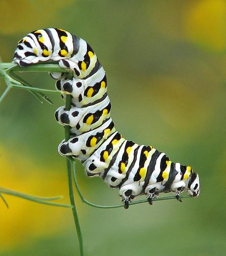 black swallowtail cat enjoying fennel