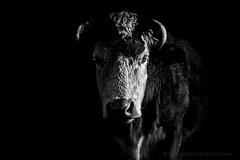 Low Key Cattle - B&W (Old-Man-George) Tags: new uk nature animal forest britain hampshire british livestock wwwgeorgewheelhousecom georgewheelhouse d883334