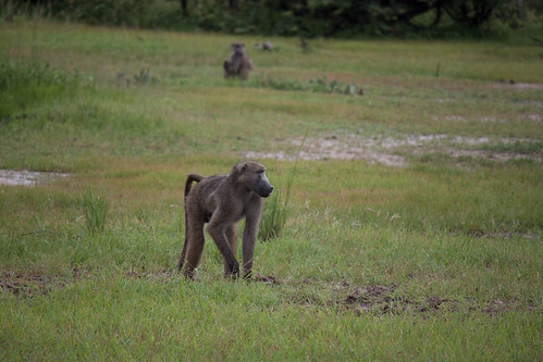 "Baboon <a style=""margin-left:10px; font-size:0.8em;"" href=""http://www.flickr.com/photos/117397217@N06/12490795505/"" target=""_blank"">@flickr</a>"