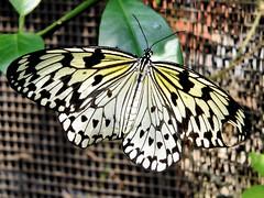 A Hole in One wing of four wings butterfly (hastuwi) Tags: holeinone butterfly insect holein1 bolong lobang berlubang kupukupu butterflies ngc bizarre aneh fakta unik strange unique odd unusual